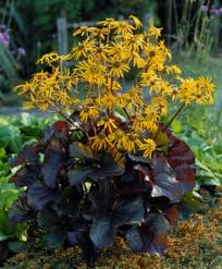Ligularia dentata 'Britt-Marie Crawford' - dark chocolate-maroon leaves with dark purple undersides, rather flat orange-yellow flowers bloom, perfers morning sun afternoon shade