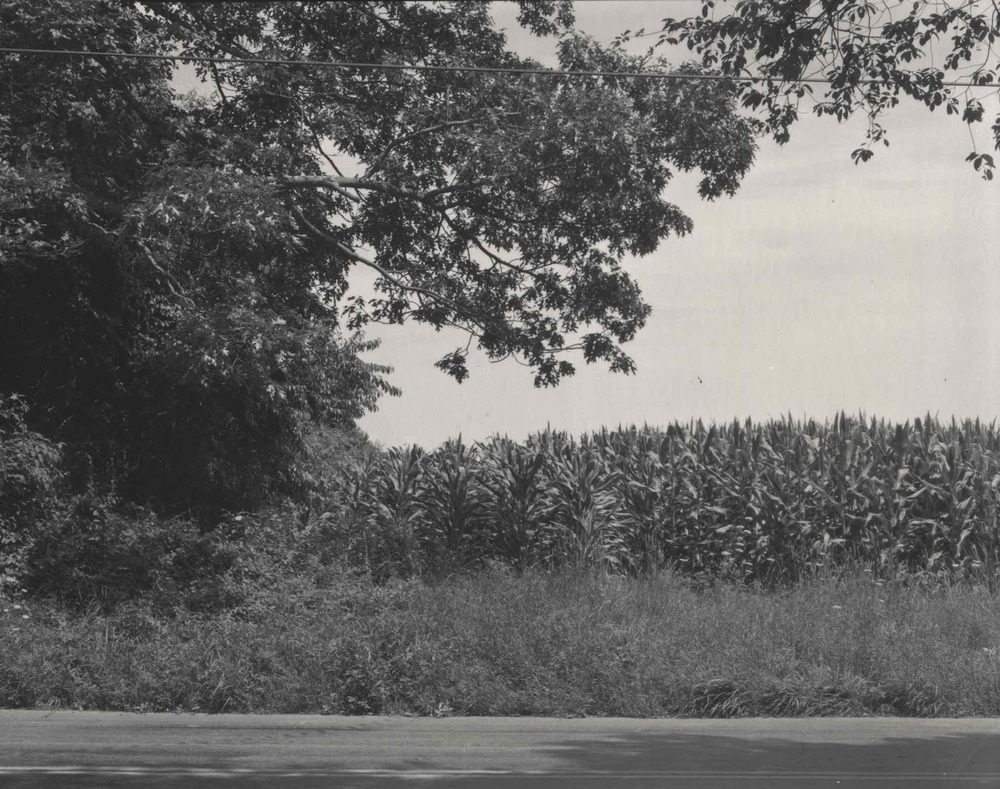 Cornfield on Horseneck road.jpg