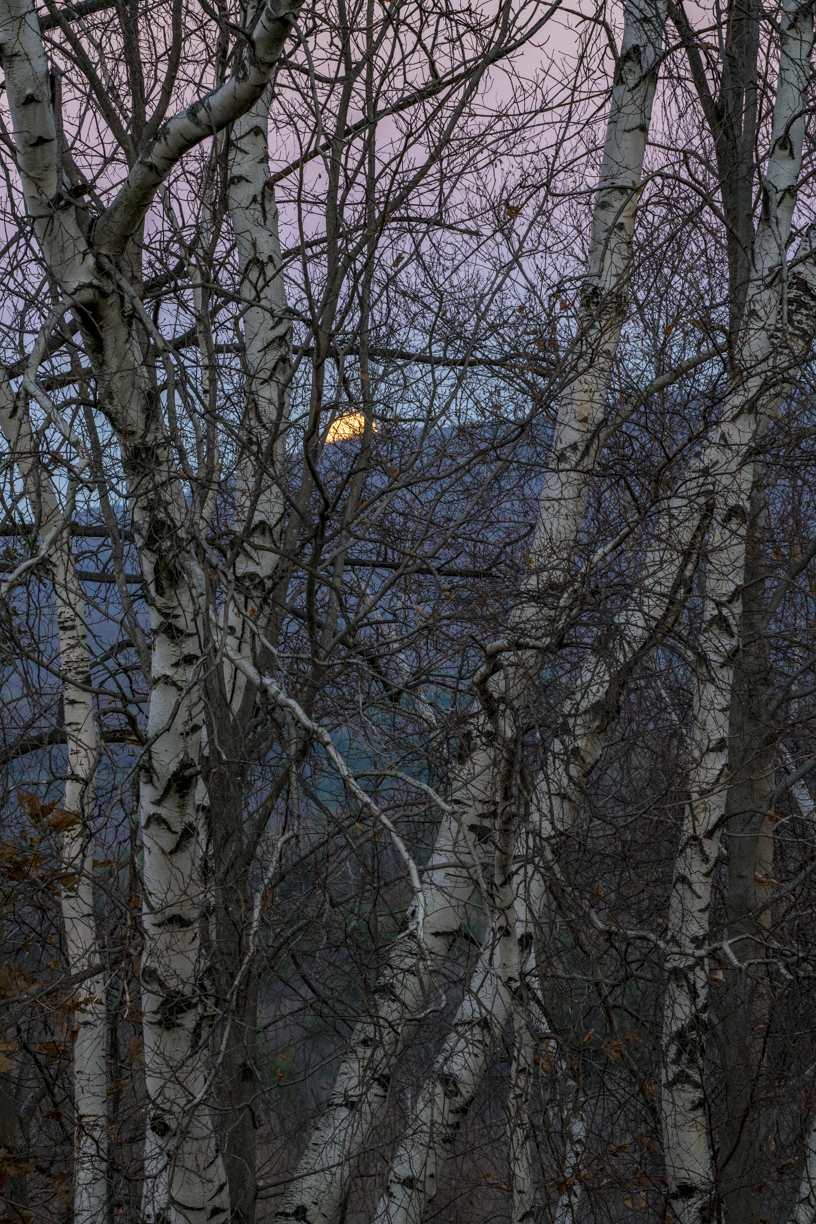 Moonrise through Birches