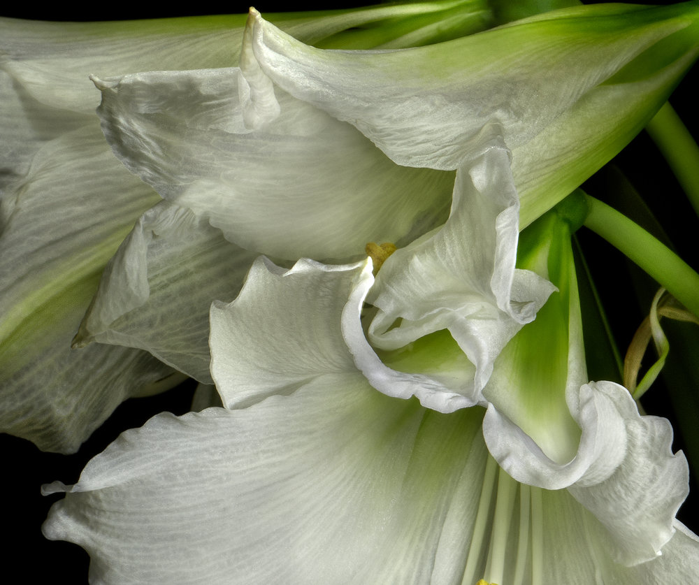 Amaryllis Floating