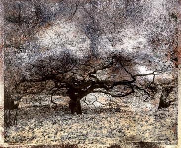 Beech Tree, #26