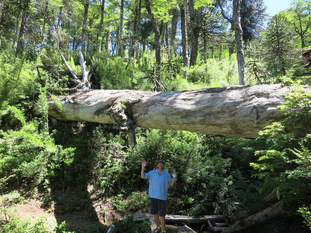 Huge fallen tree!