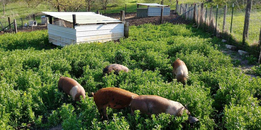 pigs on pasture.jpg