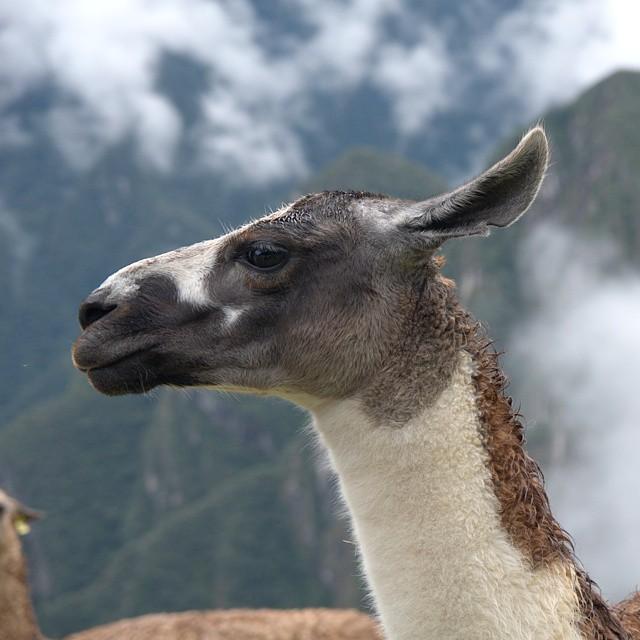 The tourists weren't the only ones enjoying Machu Picchu. @afarmedia @ustoanyc @peru #traveldeeper #traveltogether #afarmedia #peru