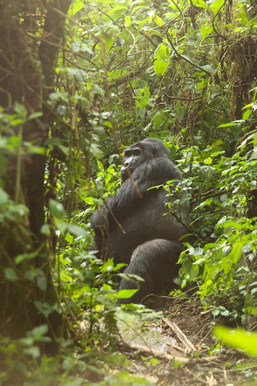 gorillas_6.jpg