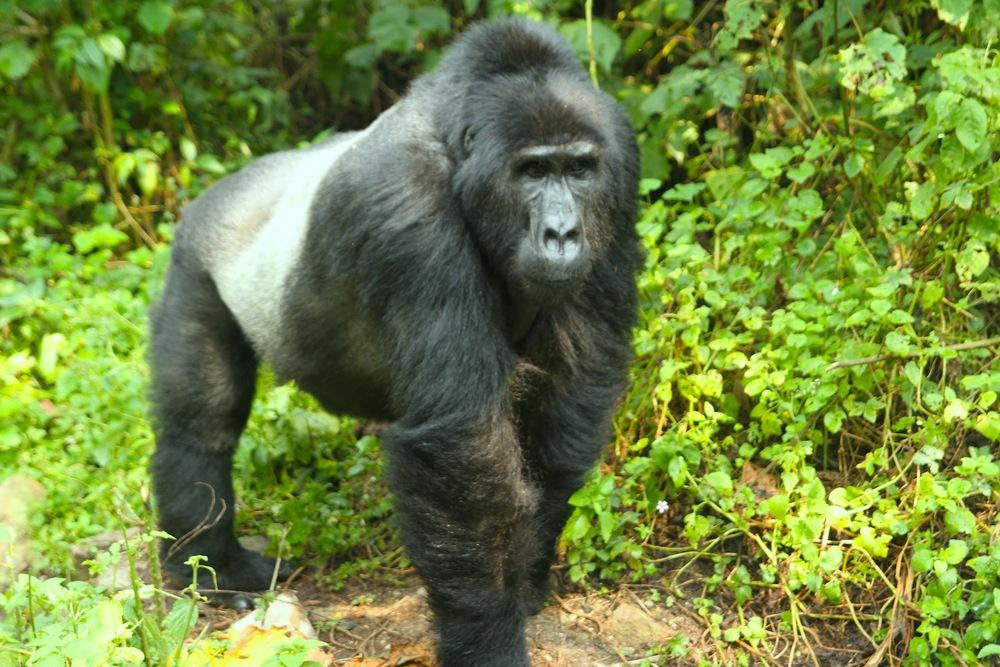 gorillas_4.jpg