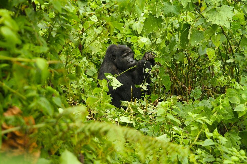 gorillas_8.jpg
