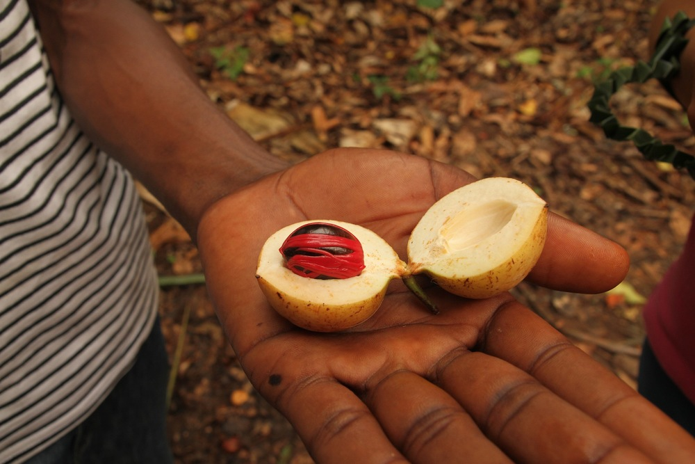 """This is nutmeg, or as our tour guide put it, """"We are a polygamous society here in Zanzibar. This is the spice that gives a man energy to make all his wives happy."""""""