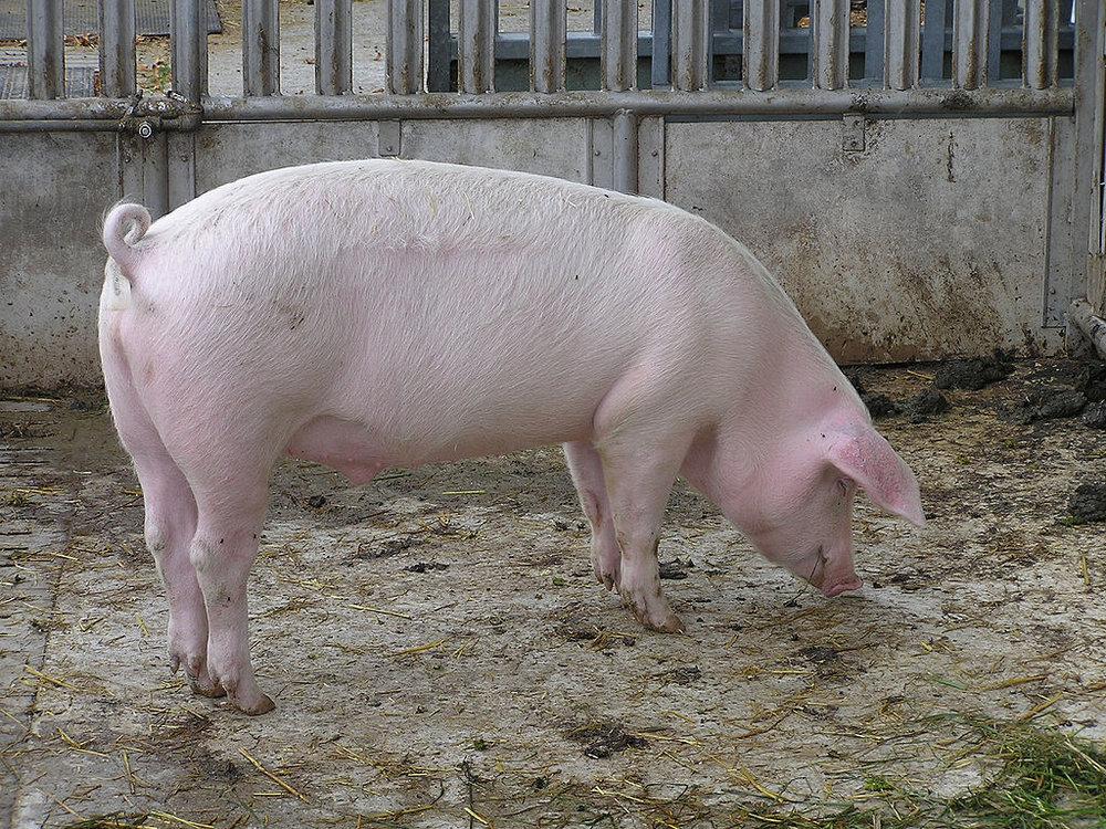 Hausschwein in Solothurn, von Joshua Lutz [Public domain], via  Wikimedia Commons