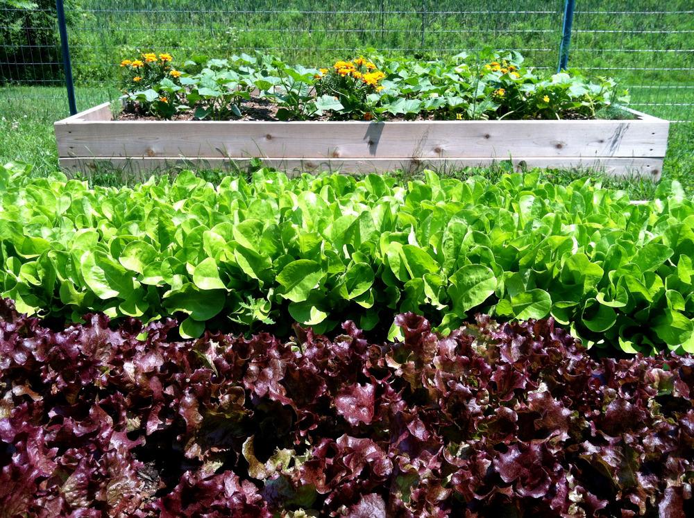 rows of lettuce.jpg