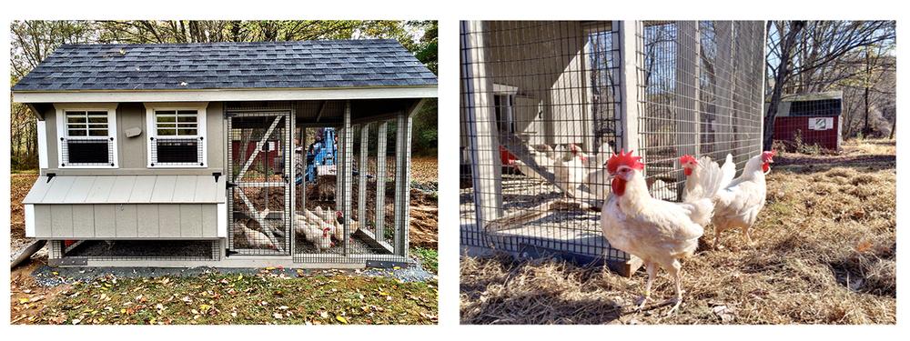 chicken montage v2.jpg
