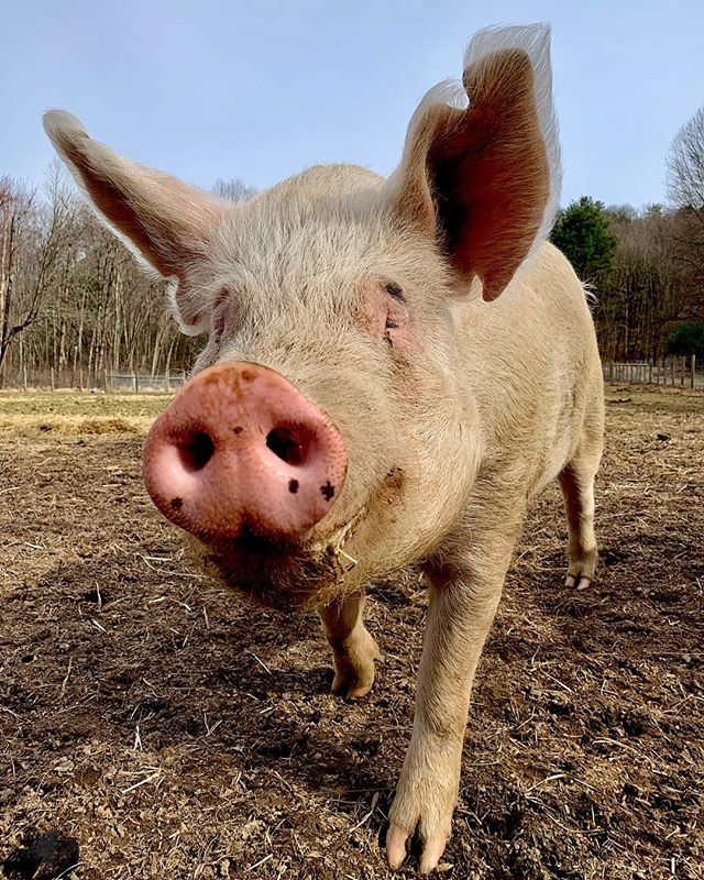 Pecan is looking forward to your spring visit belly rubs!! He's the biggest pig at the sanctuary with probably the biggest smile 🐷❤️
