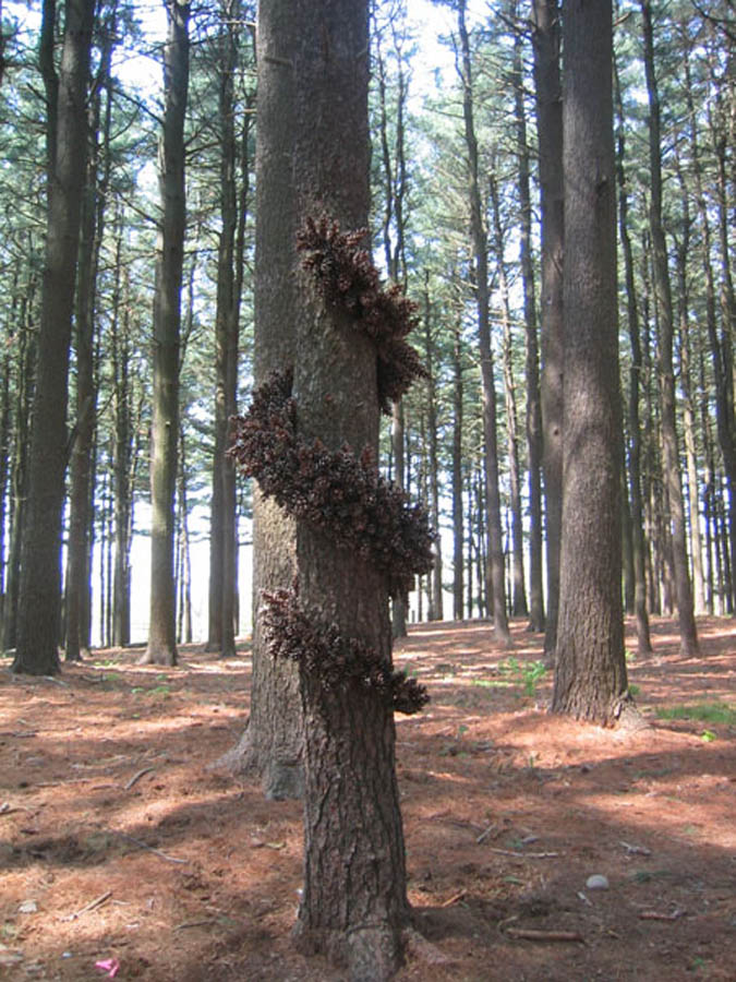 tree spiral.1a.jpg