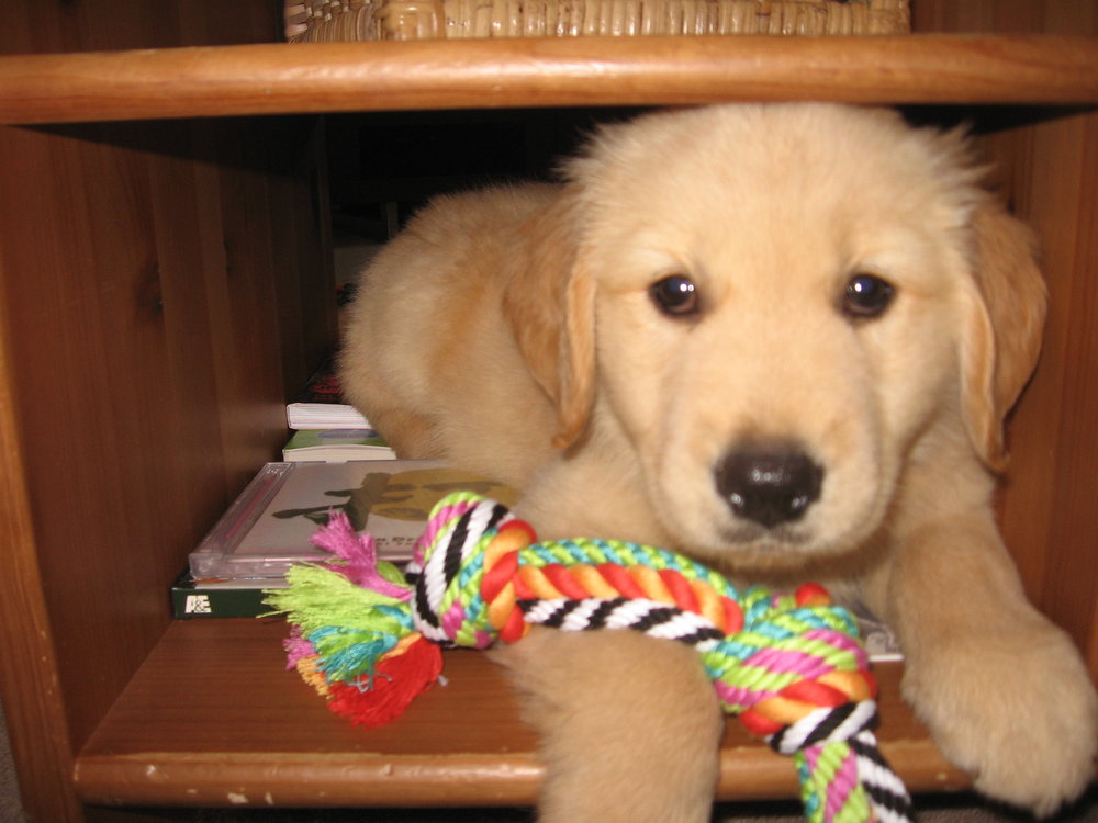 Puppy Sam loved to sit in the cubbyhole of our old coffee table.