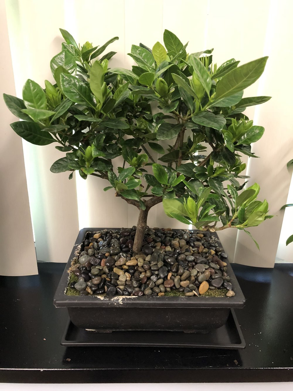 A beautiful bonsai from my former colleagues