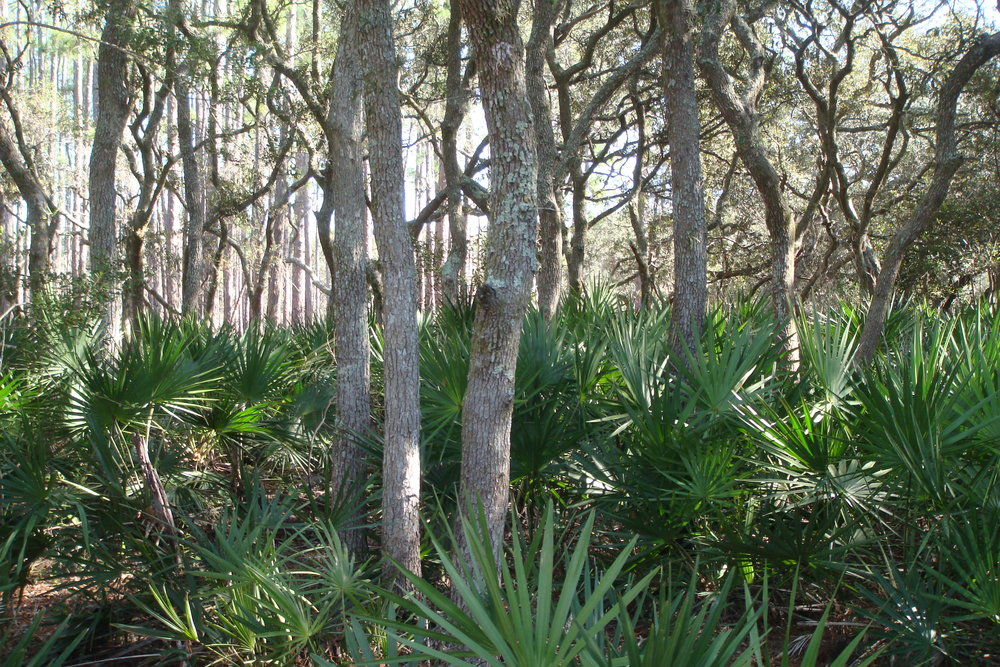 Sections of the Ocala Trail feature oaks with a dramatic understory of saw palmetto.