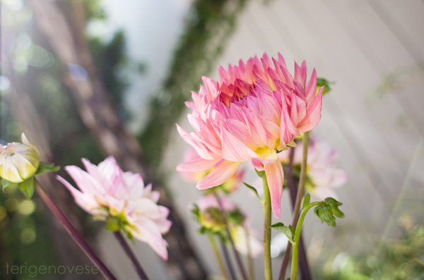 dahlia flower fine art photograph