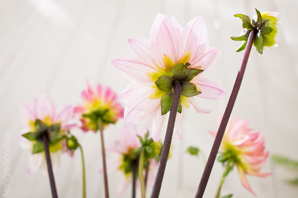 fine art dahlia flower photograph