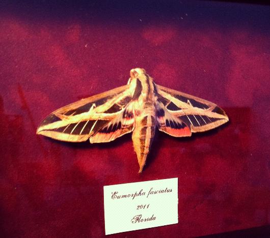 Lesser Vine Sphinx Moth - Eumorpha fasciatus