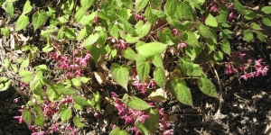 Epimedium is a great choice for a dry shade groundcover.