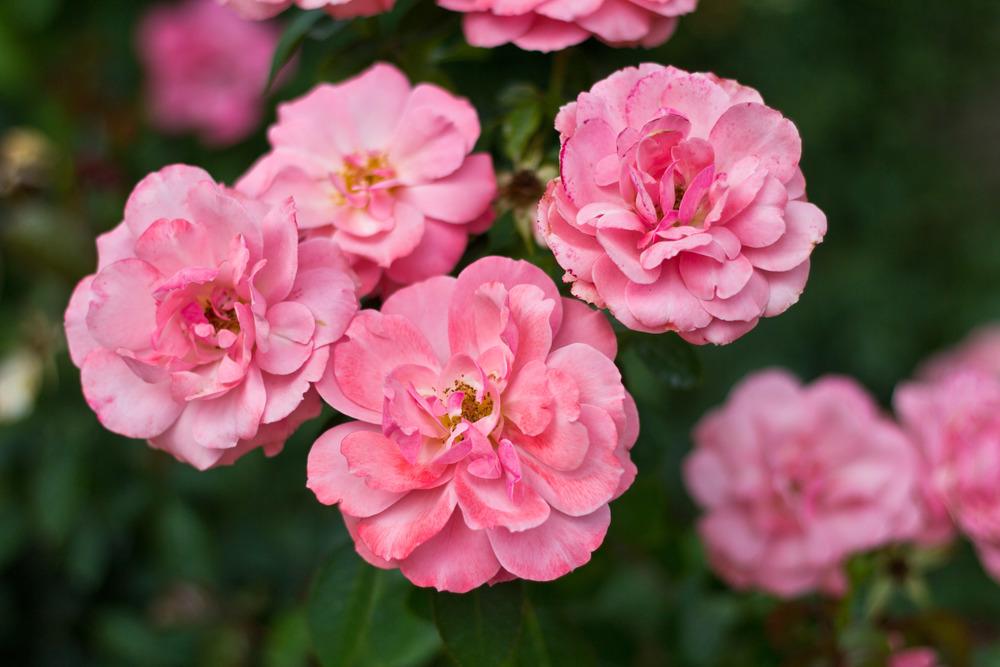Pink Roses 01.jpg