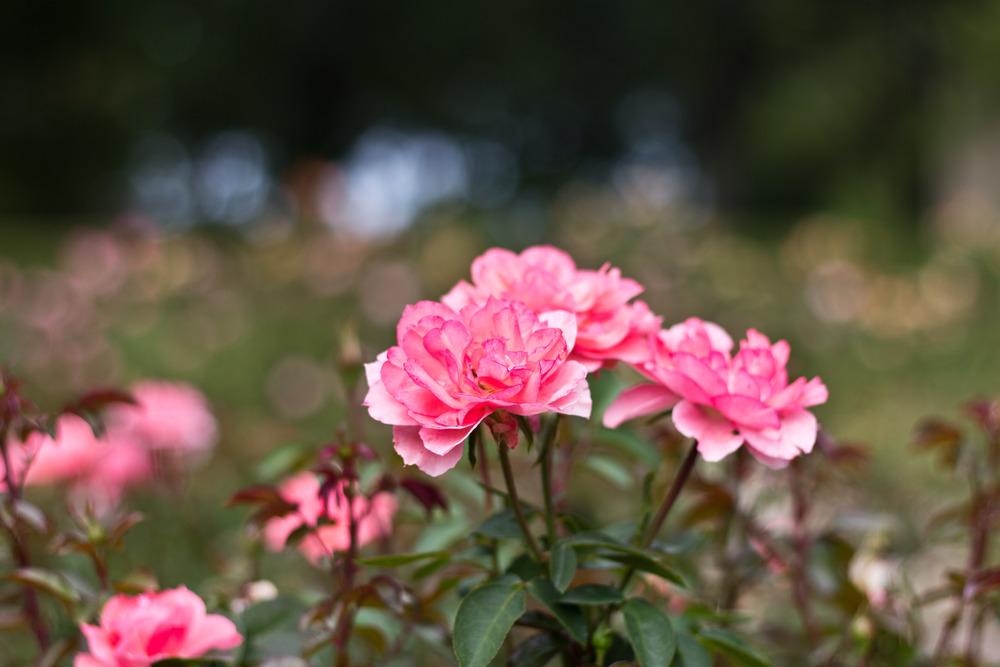 Pink Roses 02.jpg