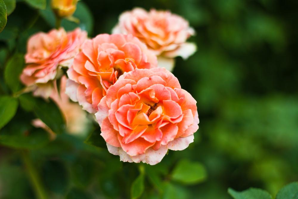 Orange Roses 01.jpg