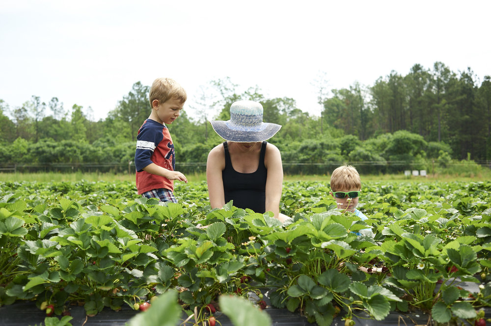 strawberry picking, lccl farm, rome, GA, family, lifestyle photography, its the everyday, motherhood, pregnancy