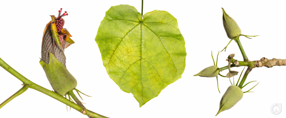 Hibiscadelphus.jpg