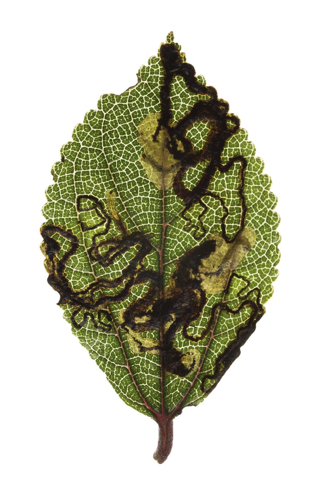 caterpillars in mamaki leaf