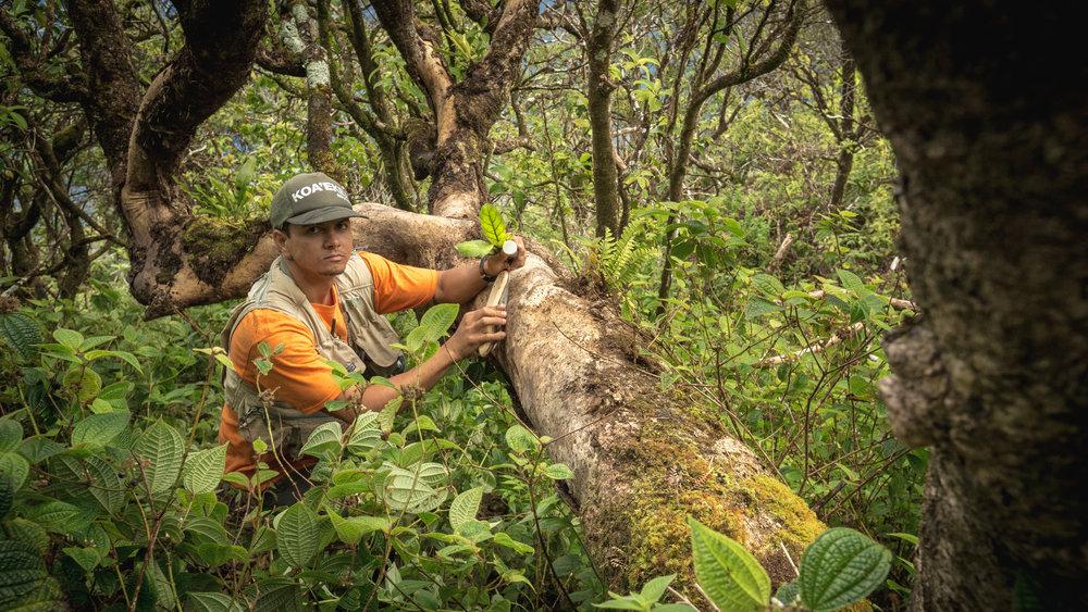 Native Hawaiian and expert botanist Keahi Bustamente holds a leaf sample of  Hesperomannia arborescens , one of  Philodora's  rarest host plants.
