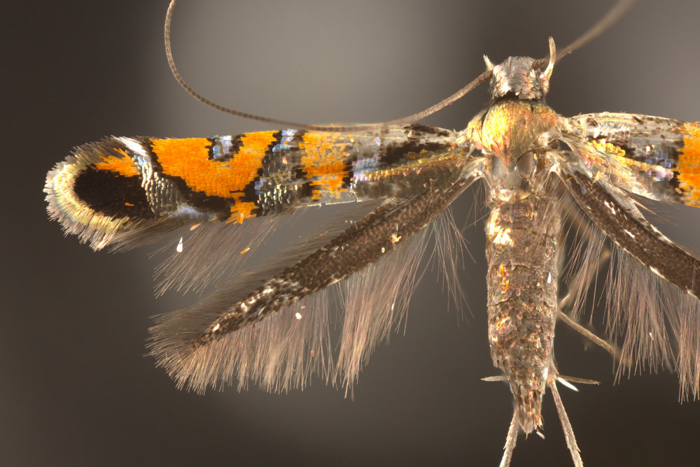 Philodoria  moths have thousands of tiny, metallic colored scales that cover their wings.
