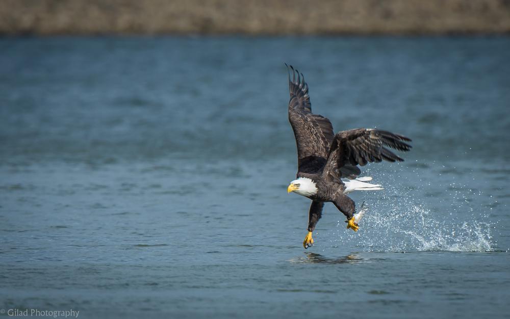 Bald Eagle fishing at Conowingo Dam