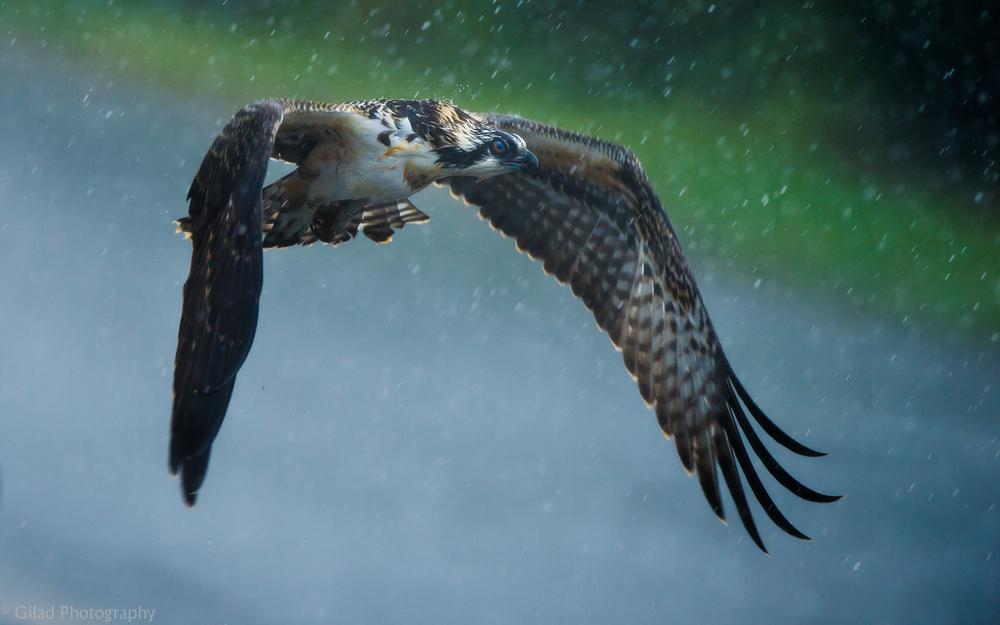 Osprey In The Rain.jpg