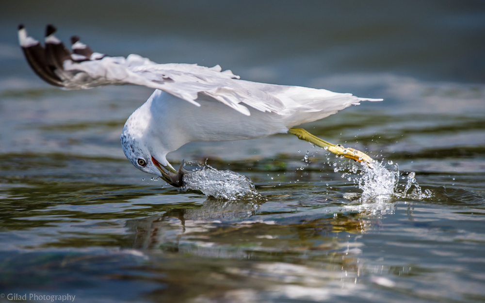 Gull picking up a fish.jpg