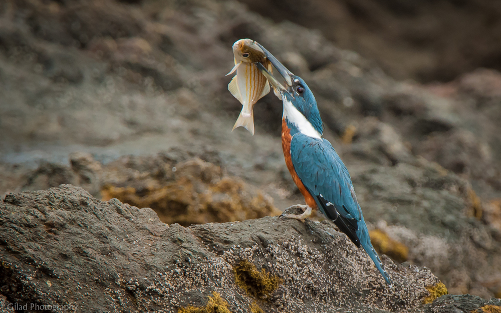 Kingfisher-With-A-Fish.jpg