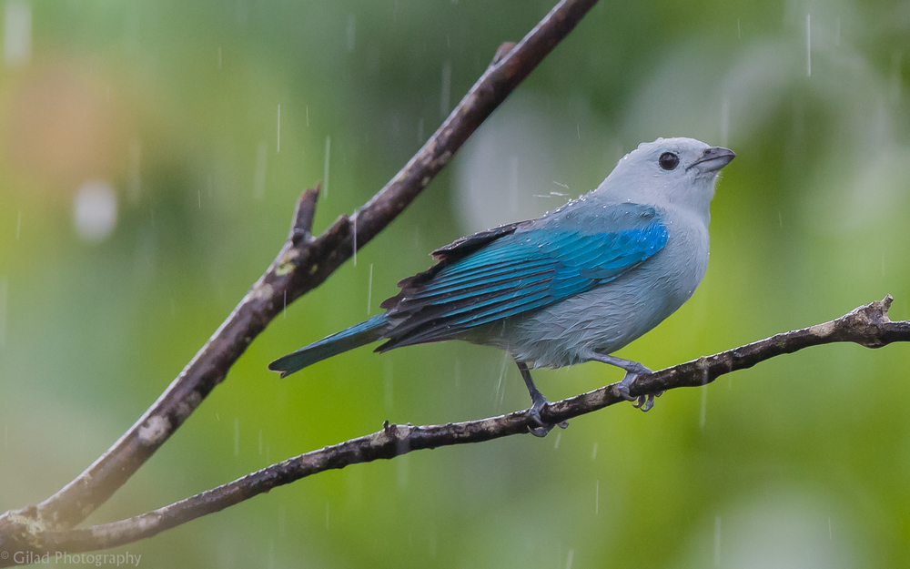 Blue-Grey-Tanager-In-The-Rain.jpg