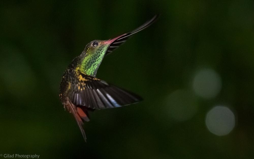 Hummingbird-In-Flight.jpg