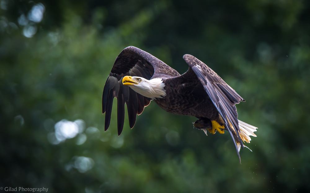 Bald-Eagle-With-A-Fish.jpg