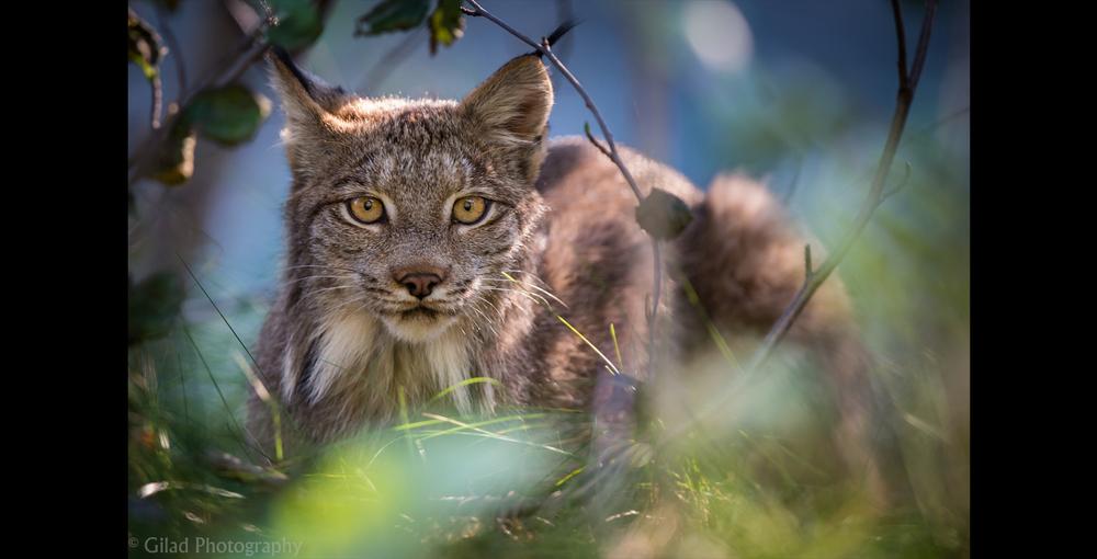 A lynx in Alaska