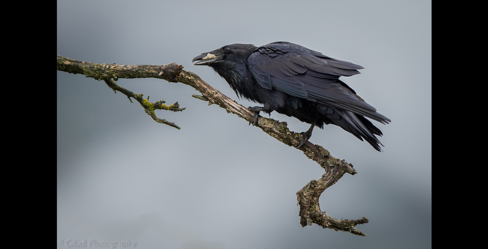 A raven on a tree branch in Alaska