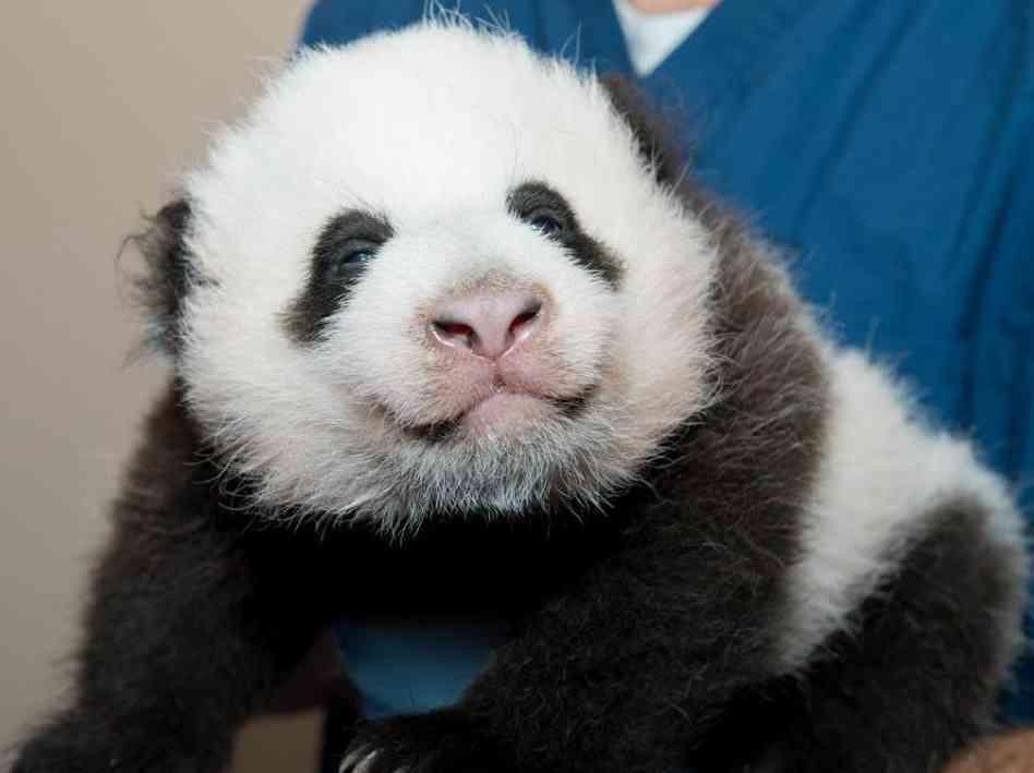 panda-cub-new-1-963-aab851ed5aca4685bc00045f85279263a40116e9-s6-c30.jpg