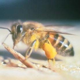 bee-researchers-make-friends-africanized-killer_1.jpg