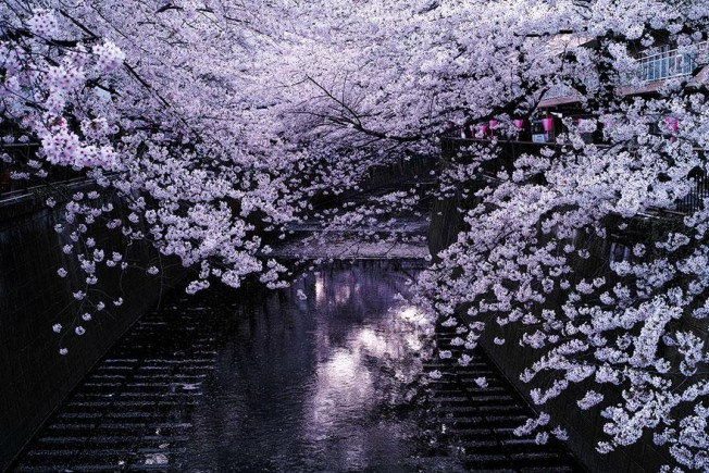 cherry-blossom-season-2014-2-652x435.jpg