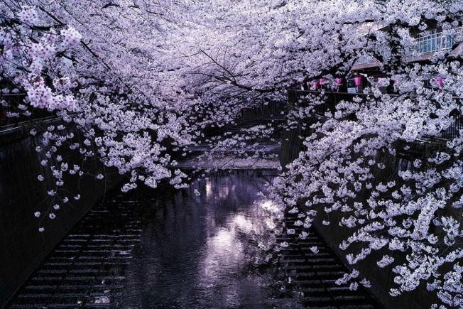cherry-blossom-season-2014-2-652x435.jpg