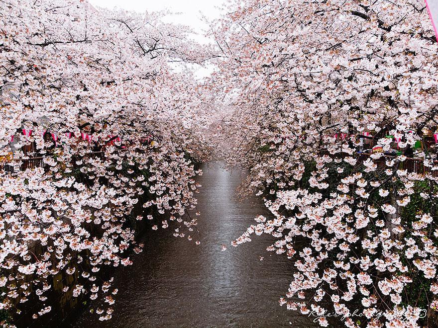 cherry-blossom-season-2014-1.jpg