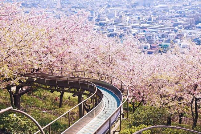 cherry-blossom-season-2014-9-652x435.jpg
