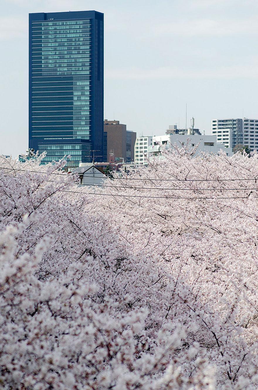 cherry-blossom-season-2014-8.jpg
