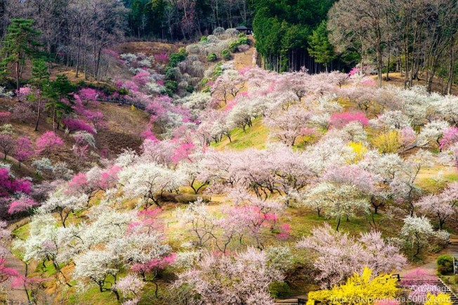 cherry-blossom-season-2014-6-652x435.jpg