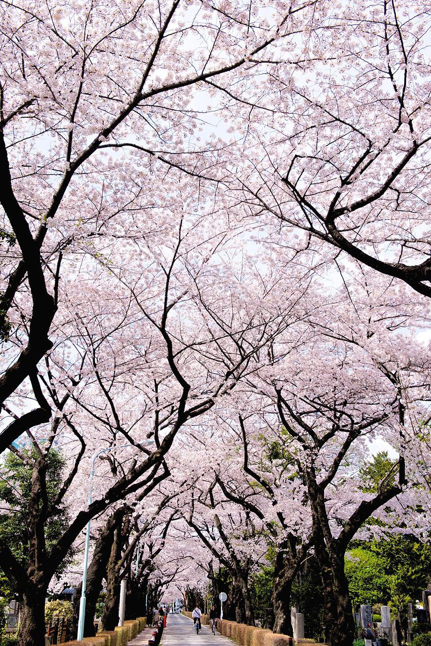 cherry-blossom-season-2014-7.jpg
